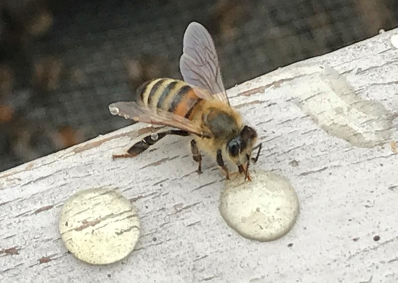 Bee feeding on syrup