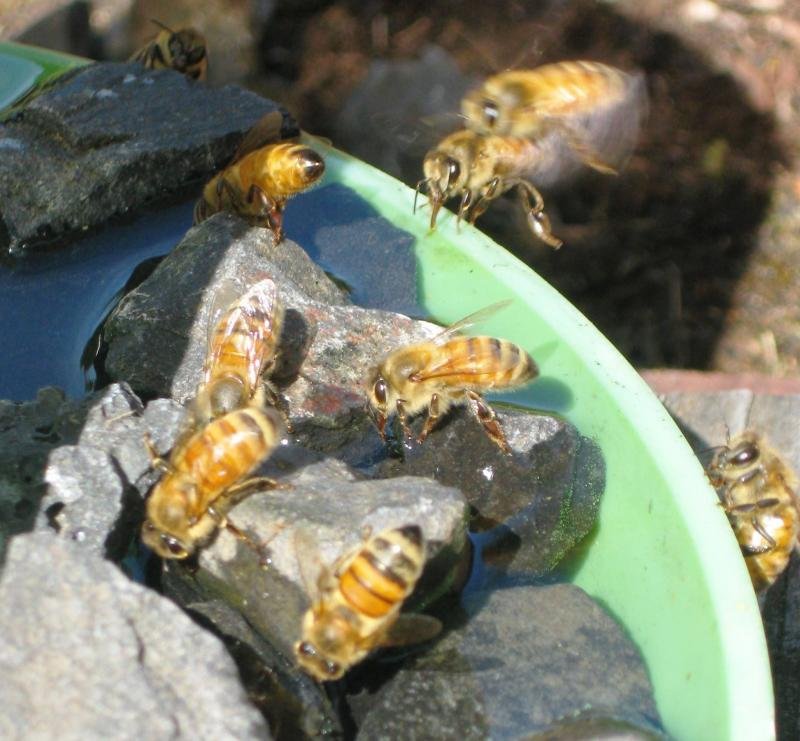 Honey bee coming in for a landing at a poultry waterer