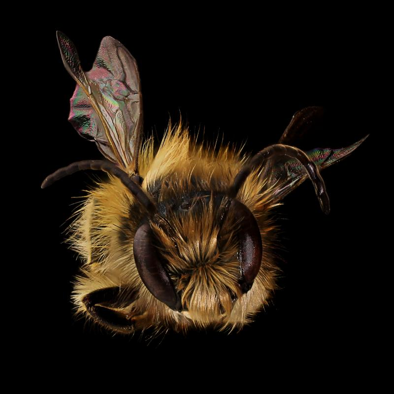 lewis county beekeepers association mason bees
