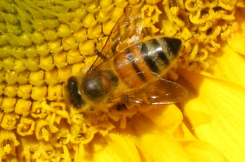 Honey bee on sunflower by Susanne Weil LCBA Secretary