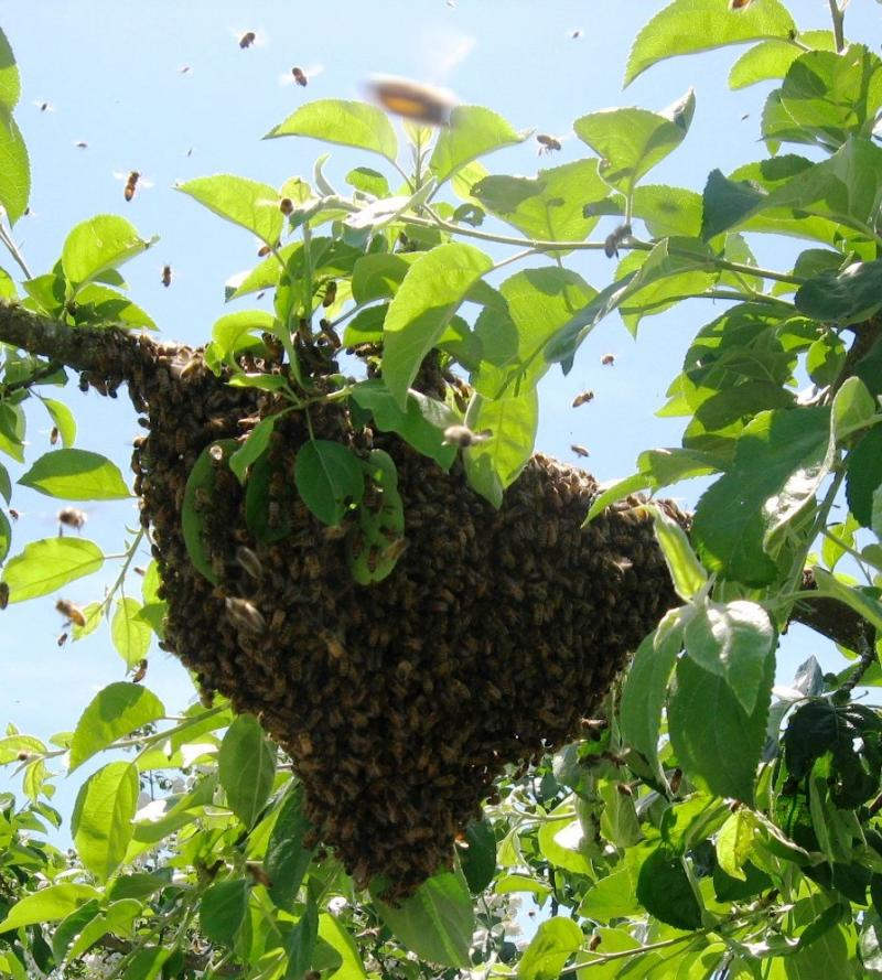 Honey Bee Swarm at LCBA workshop May 30 2015